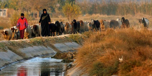 رعي الاغنام في قضاء الحسينية